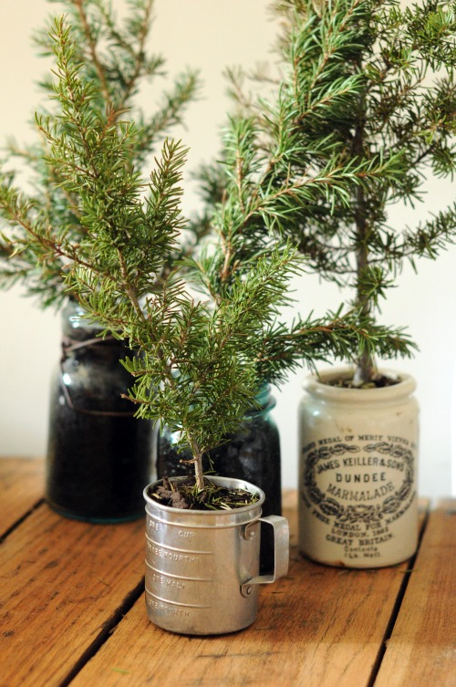 potted pine sprigs